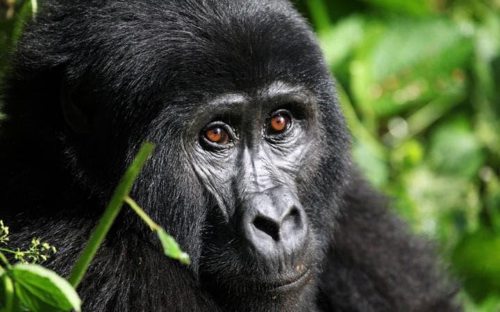1 Days Rwanda Gorilla Safari Tour