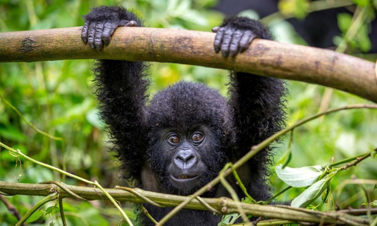 3 Days Rwanda Gorillas and Dian Fossey
