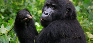 4 Days Gorillas, Golden Monkeys & Dian Fossey