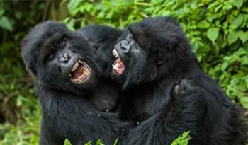 Gorilla Trekking Families